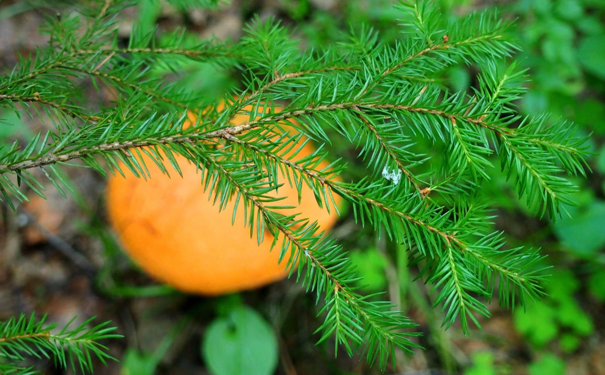 Сбор грибов и ягод стал для многих жителей лесных поселков Карелии единственной возможностью прокормить свои семьи. Фото: Валерий Поташов