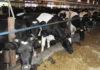 Карельские чиновники предпочитают молоко из соседней области? Фото: specagro.ru