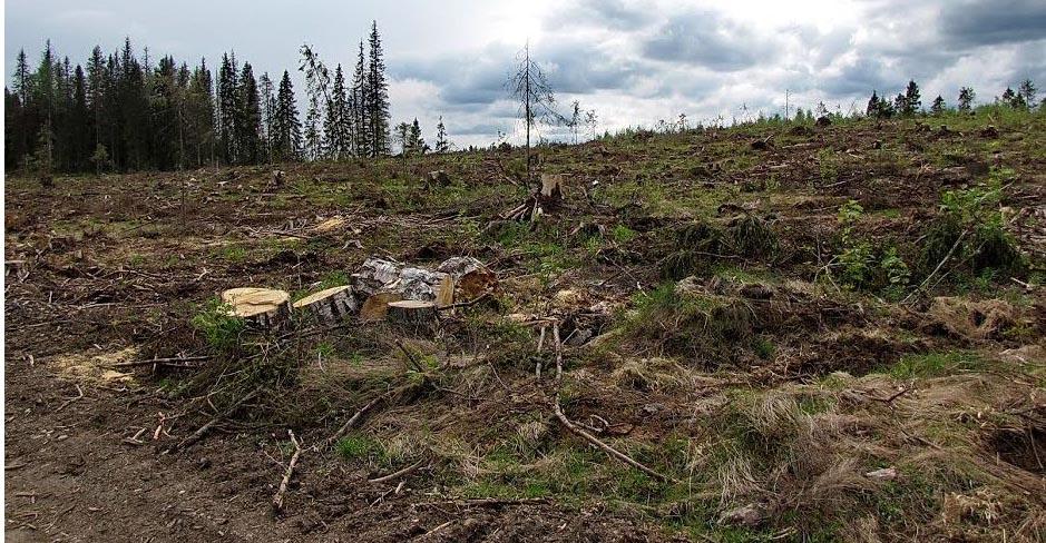 Лесозаготовка в планируемом парке. Фото: Лесной портал Карелии