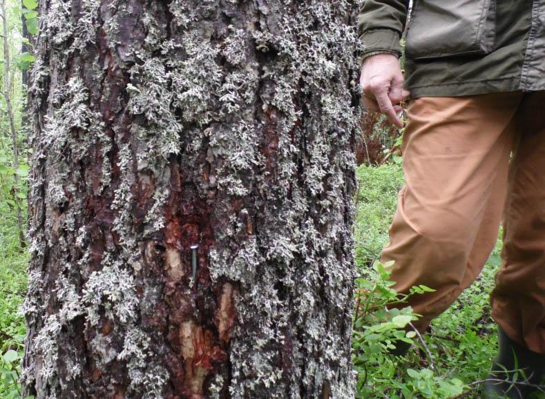 Гвозди в деревьях. Фото: Алексей Владимиров