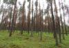 Чиновники и бизнесмены приговорили Сунский бор к уничтожению. Фото: Алексей Владимиров