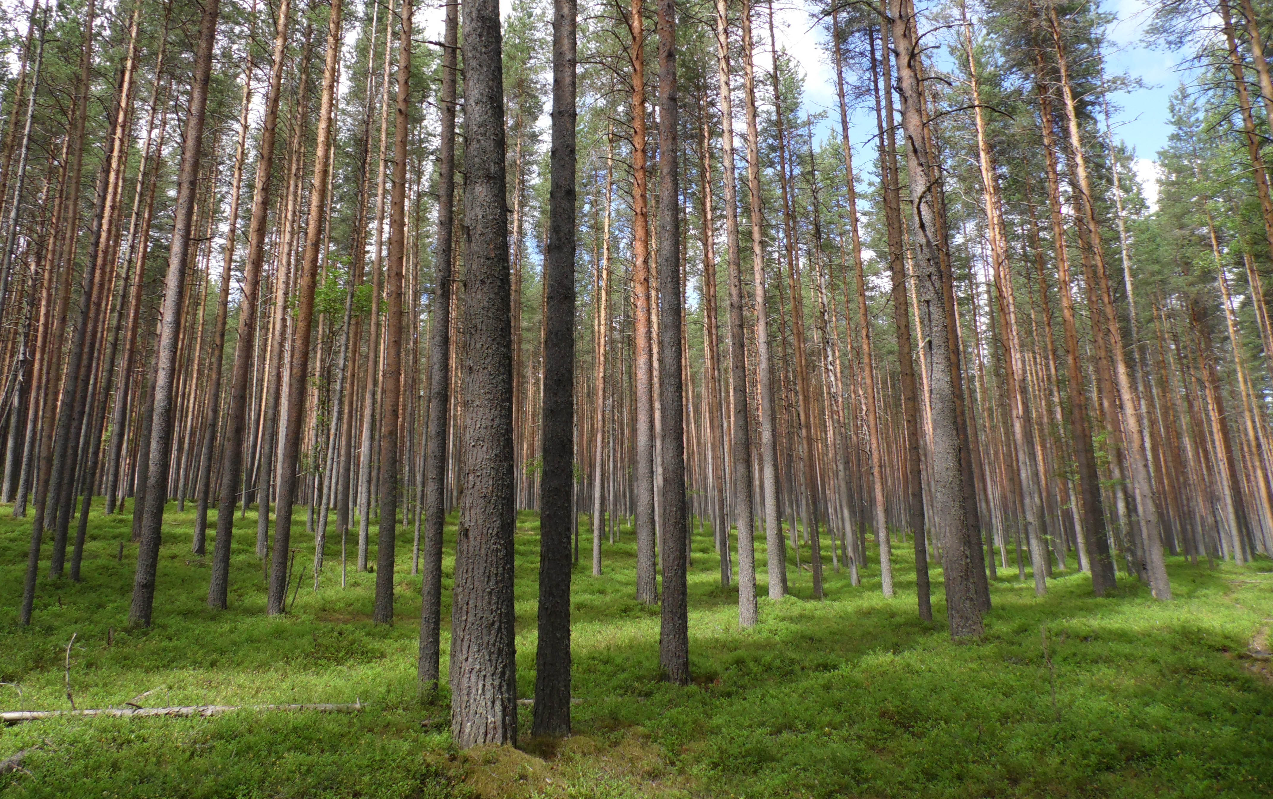 Сунский бор. Фото: Алексей Владимиров