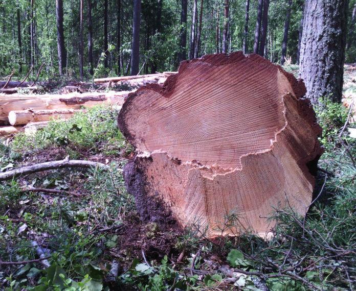 Поваленные вековые деревья в Сунском бору. Фото: Валерий Поташов