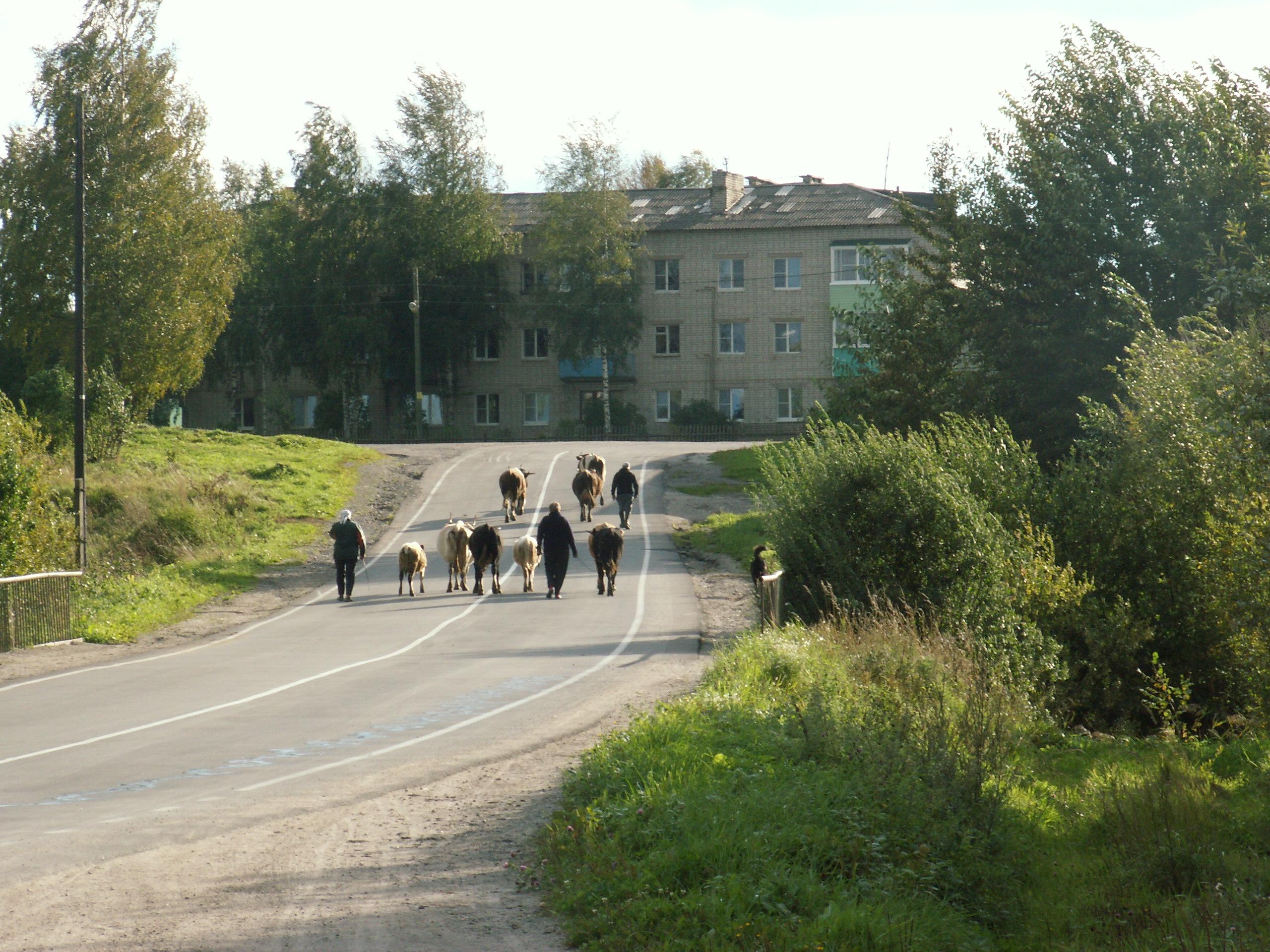 Все шуньгское стадо. Фото: Татьяна Смирнова