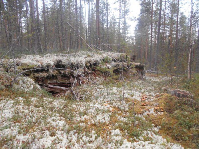 Ухтинские леса хранят память о войне. Фото: Андрей Туоми