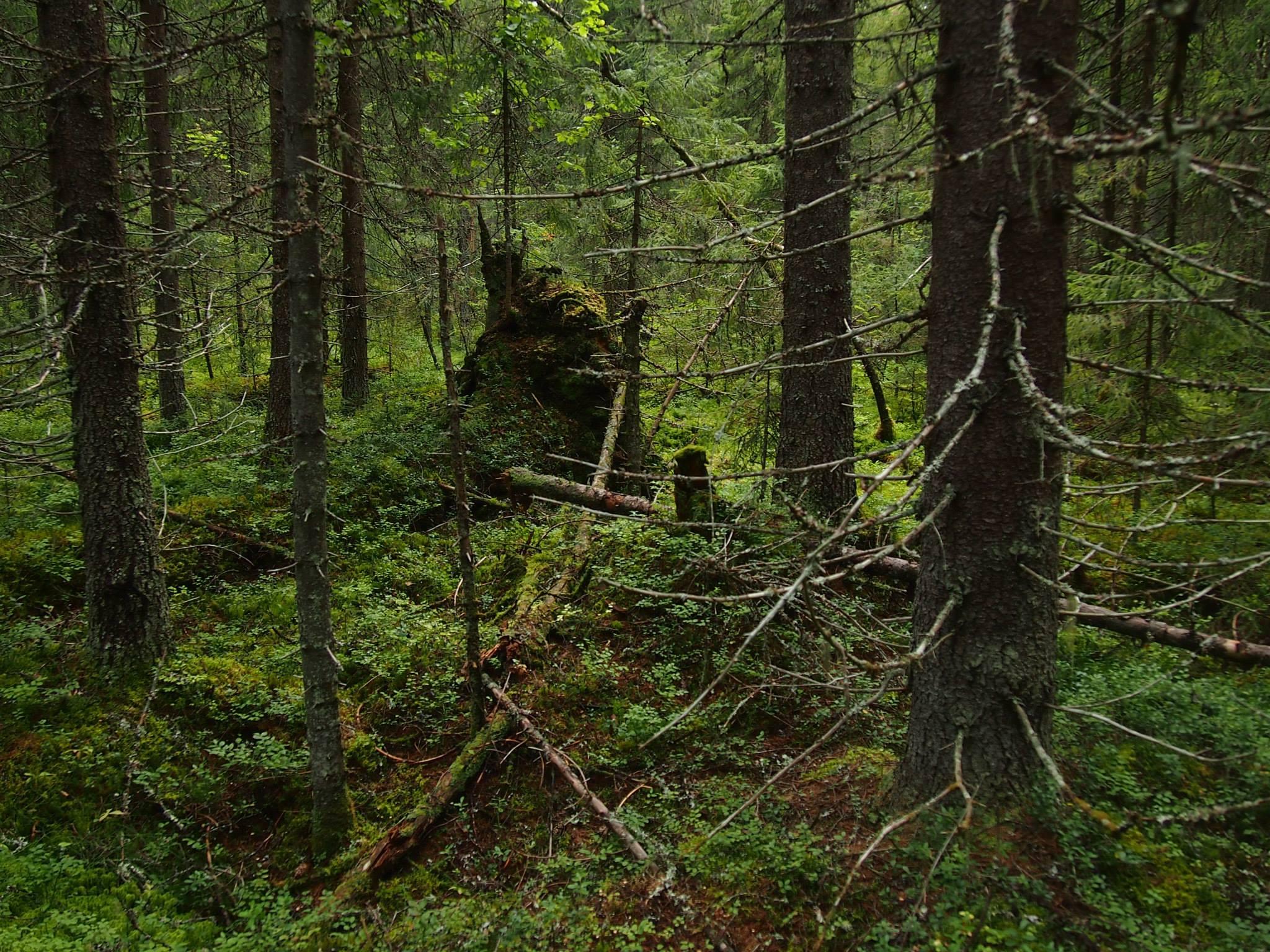 """""""Кареллеспром"""" арендует более миллиона кубометров леса в Пудожском районе Карелии. Фото: Валерий Поташов"""