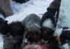Очередной выводок одичавших собак на калевальской свалке. Фото: Александр Контканен
