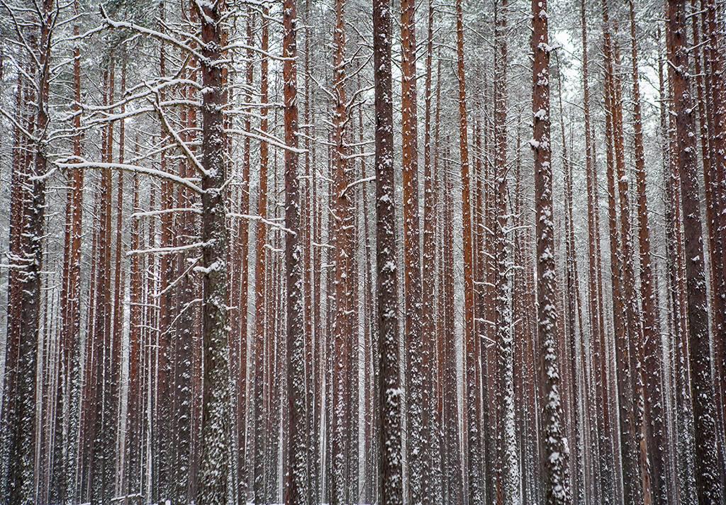В Сунском бору. Фото: Игорь Подгорный