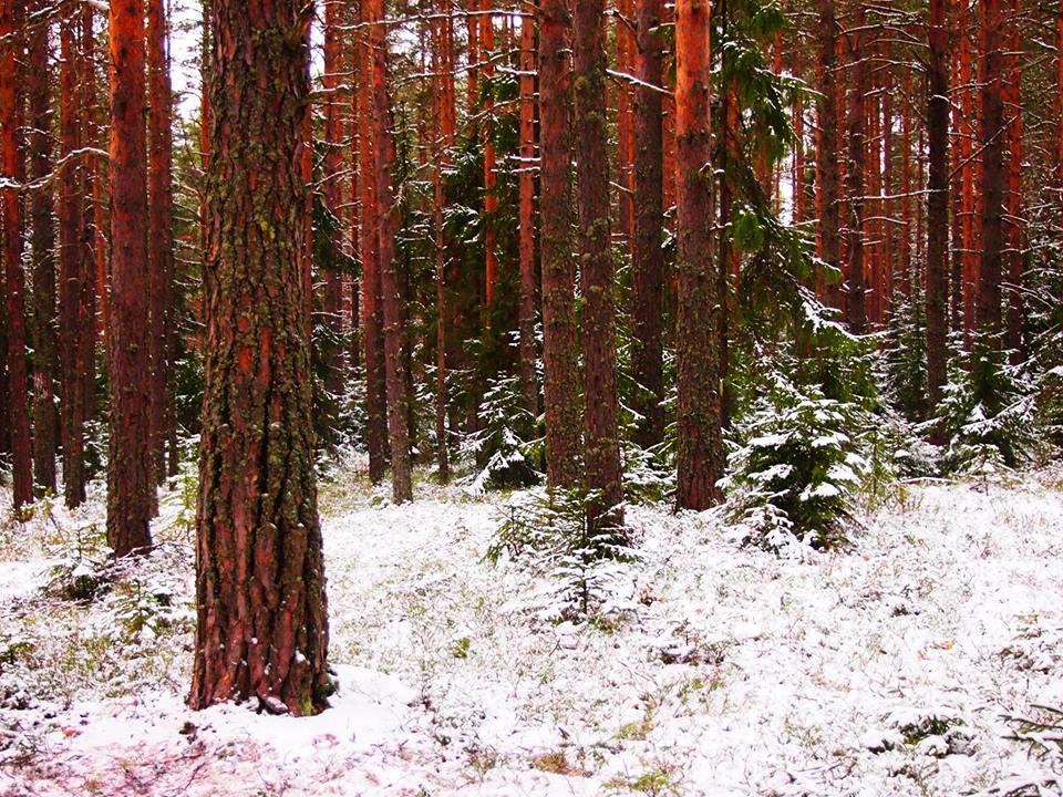 Карельский лес с советских времен называли
