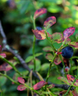 Осенняя черника. Фото: Валерий Поташов