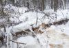 """Эта рубка на территории заказника """"Заозерский"""" санкционирована Минприроды Карелии. Фото: Валерий Поташов"""