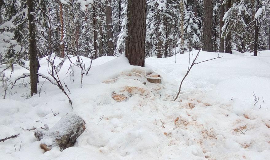 """Зачем нужно было устраивать рубку прямо на туристической тропе """"К самой большой ели в Фенноскандии""""? Фото: Валерий Поташов"""